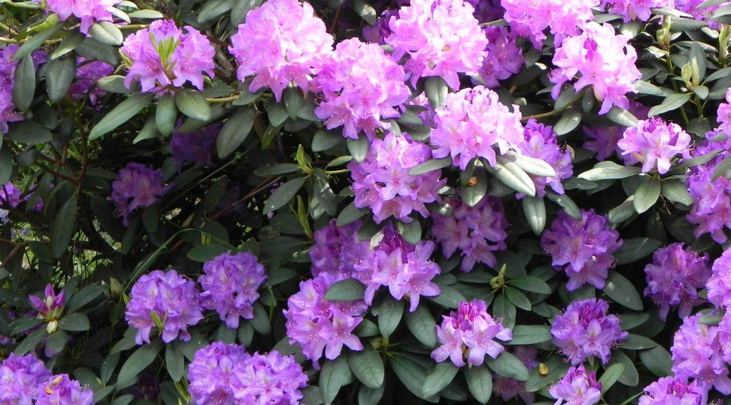 rododendrons-voor-website